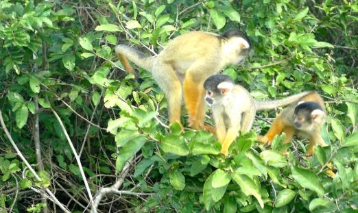 monkeys 3 crop