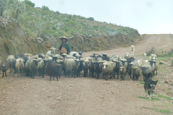 Passing by a herd of sheep on the way up