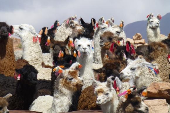 When llamas are angry their ears go back