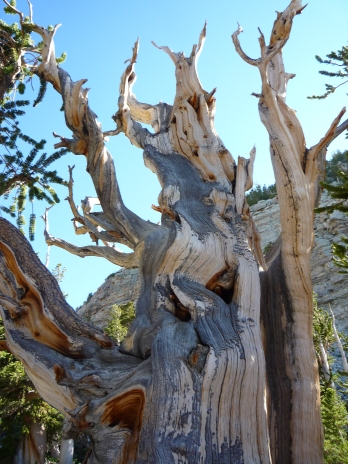 Oldest trees in North America